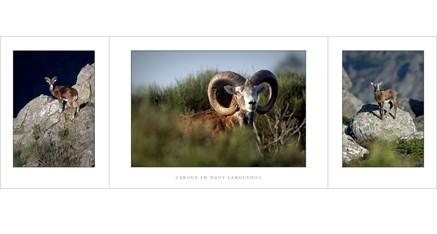 HL.06 - Mouflons (Haut-Languedoc)