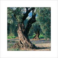 ES.08 - Les oliviers