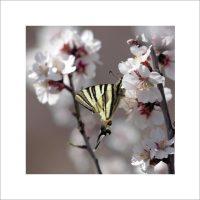 Papillon et fleurs d'amandier