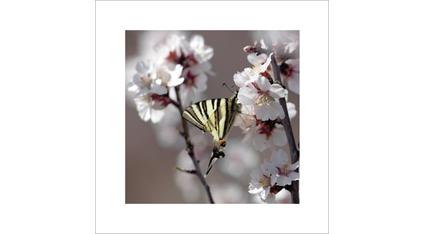 ES.14 - Fleurs d amandier