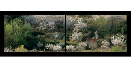 LP.07 - Cerisiers en Haut-Languedoc